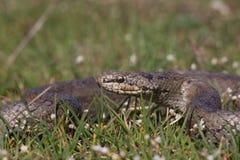 在春天草的光滑的蛇 爬行动物Coronella austriaca 免版税库存图片