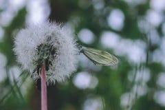 在春天蒲公英白色绒毛的蝴蝶 免版税库存图片