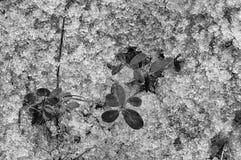 在春天解冻的红色越桔 熔化雪纹理  黑白图象拉特 牛痘葡萄属idaea 免版税库存图片