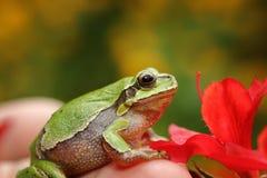 在春天设置的逗人喜爱的绿色雨蛙 库存照片