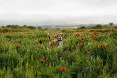 在春天野花的小猎犬狗 在麦子中的鸦片在日落 免版税库存照片