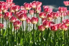 在春天阳光下的许多明亮的红色郁金香 图库摄影