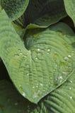 在春天阵雨以后的玉簪属植物 库存照片