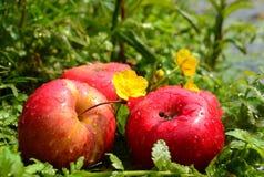 在春天附近的三个苹果 库存照片