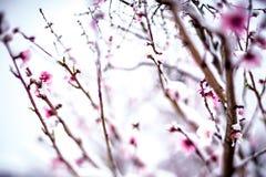 在春天雪期间的桃树农场与开花 图库摄影