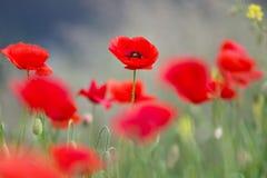 在春天领域的美好的鸦片花绽放 库存图片