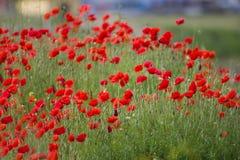 在春天领域的美好的鸦片花绽放 免版税图库摄影