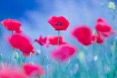 在春天领域的美好的鸦片花绽放 图库摄影
