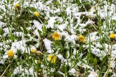 在春天,在雪的蒲公英, 11下雪 05 2017年米斯克,白俄罗斯 库存图片