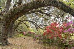 在春天绽放的杜娟花在查尔斯顿, SC附近的小橡树下 图库摄影