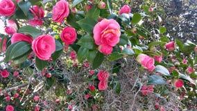在春天绽放的桃红色山茶花 图库摄影