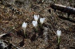 在春天绽放的番红花 免版税图库摄影