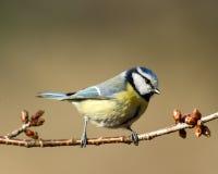在春天(Parus caeruleus)的Bluetit 库存图片