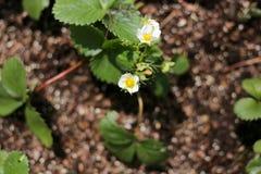 在春天Everbearing草莓厂的开花在庭院里 免版税库存图片