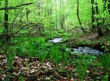 在春天foresr的蕨 库存照片