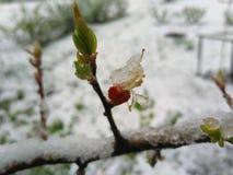 在春天thundersnow以后的雪开花 免版税库存图片