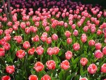 在春天Wahington DC的郁金香绽放 库存图片