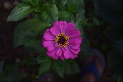 百日菊属花在庭院里 库存照片
