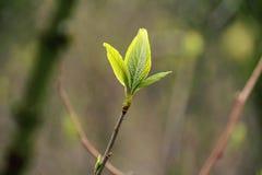 在春季期间,年轻叶子涌现 库存照片