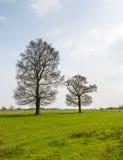 在春季的两棵发芽的树 免版税库存图片