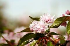 在春季的佐仓日本樱花花绽放 免版税库存照片