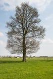 在春季的大发芽的树 免版税库存照片