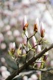 在春季的美丽的紫色木兰芽在木兰树 木兰芽 免版税库存照片