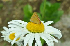 在春白菊的一只小蝴蝶 免版税图库摄影