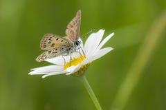 在春白菊的煤烟灰铜蝴蝶 免版税库存图片