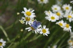 在春白菊的蓝色蝴蝶 免版税库存照片