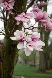 在春雨以后的木兰树桃红色和白色绽放 免版税库存图片
