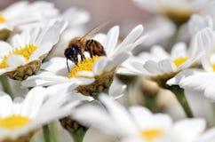 在春黄菊属花的蜂蜜蜜蜂饲养 库存照片