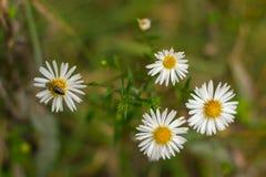 在春黄菊的蜂 图库摄影