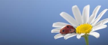 在春黄菊花的瓢虫 免版税库存图片