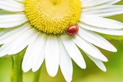 在春黄菊花的瓢虫 免版税图库摄影
