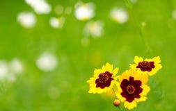 在春黄菊领域tickseed的庭院 有花的花圃 免版税库存照片