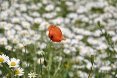 在春黄菊中的野生鸦片在森林沼地 免版税库存图片
