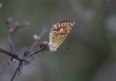 在春黄菊干燥分支的小的蝴蝶  库存照片