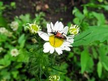 在春黄菊特写镜头的红色甲虫 免版税库存照片