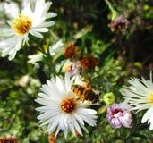 在春黄菊的一只蜂 免版税库存图片