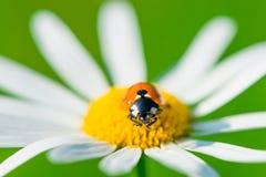 在春黄菊的宏观瓢虫 免版税库存照片