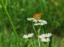 在春黄菊的小橙色蝴蝶 库存图片