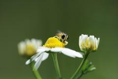 在春黄菊的昆虫 库存照片