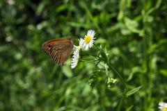 在春黄菊的橙色蝴蝶 免版税库存照片