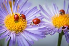 在春黄菊的瓢虫 图库摄影