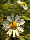 在春黄菊的甲虫 图库摄影