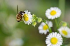 在春黄菊的蜂 免版税库存照片
