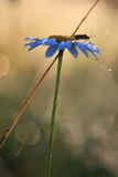 在春黄菊花的昆虫在露水的 免版税库存照片