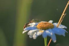 在春黄菊花的昆虫在露水的 库存图片