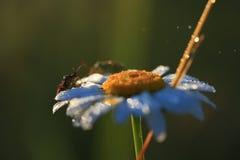 在春黄菊花的昆虫在露水的 图库摄影